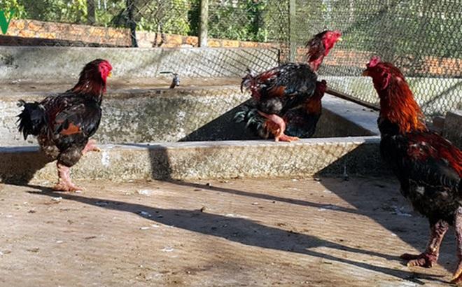 Gặp triệu phú nuôi gà Đông Tảo trên đất Gia Lai
