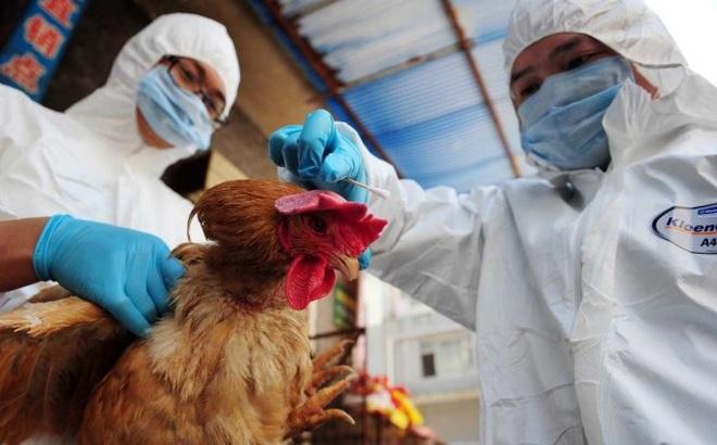 Phát hiện một số thay đổi về độc lực của H7N9 đối với gia cầm