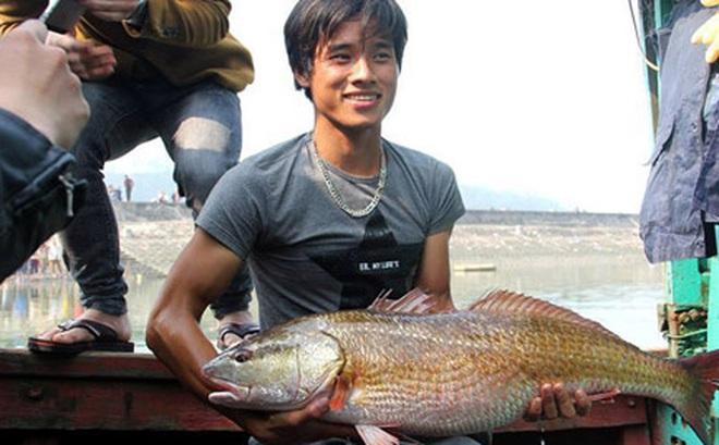Cá sủ vàng 8kg ở Nghệ An, 900 triệu chưa bán
