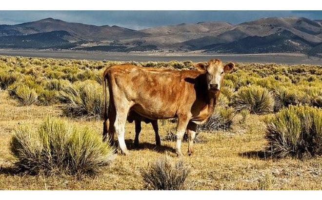 Có thể bạn không tin: Con bò này chính là tương lai của nhân loại