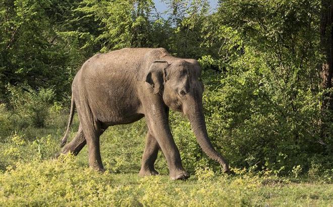 Xuất hiện voi điên giết người hàng loạt ở Ấn Độ