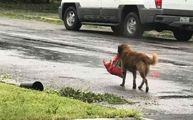 """Chú chó Texas """"biết trước"""" siêu bão Harvey, lo sẵn lương thực?"""