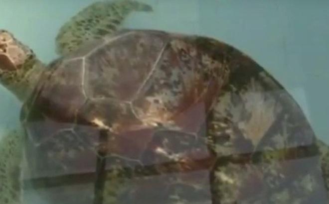 Thấy con rùa không thể bơi dưới nước, các bác sĩ siêu âm và phát hiện sự thật đáng sợ