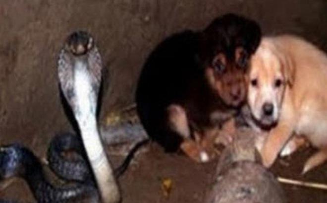"""2 chú chó rơi xuống hố sâu tưởng chết, """"ân nhân"""" cứu mạng không ai ngờ là con rắn hổ mang cực độc"""