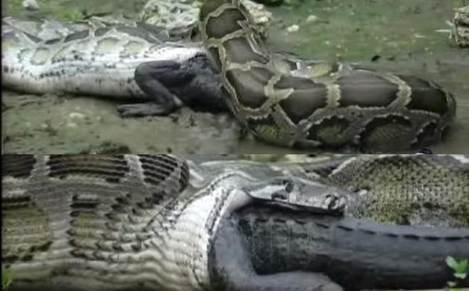 Cá sấu Mỹ bị trăn Miến Điện nuốt chửng