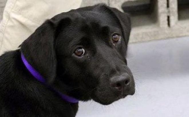"""Lulu - cô chó bị CIA sa thải vì không thích theo đuổi sự nghiệp """"đặc vụ"""" đánh hơi bom"""