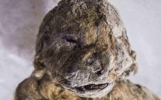 """Hồi sinh xác ướp sư tử 50.000 năm tuổi bằng thí nghiệm kiểu """"Công viên kỷ Jura"""""""