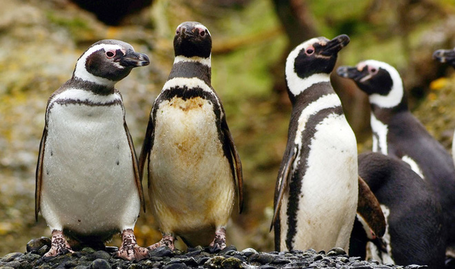 Sau khi được cứu mạng, chú chim cánh cụt đã làm một việc khiến nhiều người rớt nước mắt - Ảnh 4.