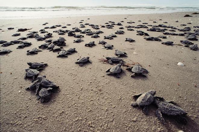Biến đổi khí hậu khiến rùa biển đối mặt với nguy cơ chênh lệch giới tính - Ảnh 3.