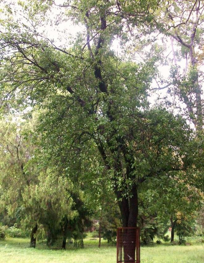 Những cây gỗ tươi quý hiếm bậc nhất thế giới, có giá trên trời mà đại gia săn lùng - Ảnh 14.