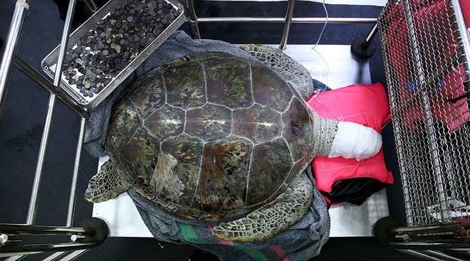 Bất ngờ phát hiện kho báu bất hạnh trong bụng 1 chú rùa Thái Lan - Ảnh 2.