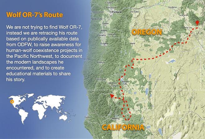 Sói xám mồ côi tìm thấy gia đình sau hơn 1.000 ngày đi xuyên 2 bang nước Mỹ - Ảnh 2.