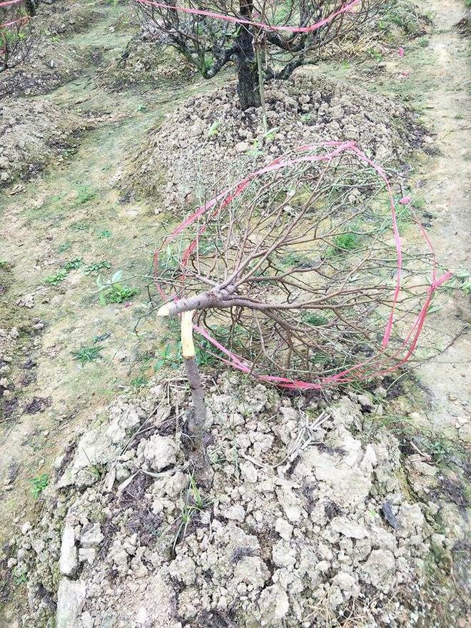Hơn 70 cây đào thế lâu năm chuẩn bị phục vụ Tết bị kẻ xấu phá hoại - Ảnh 3.