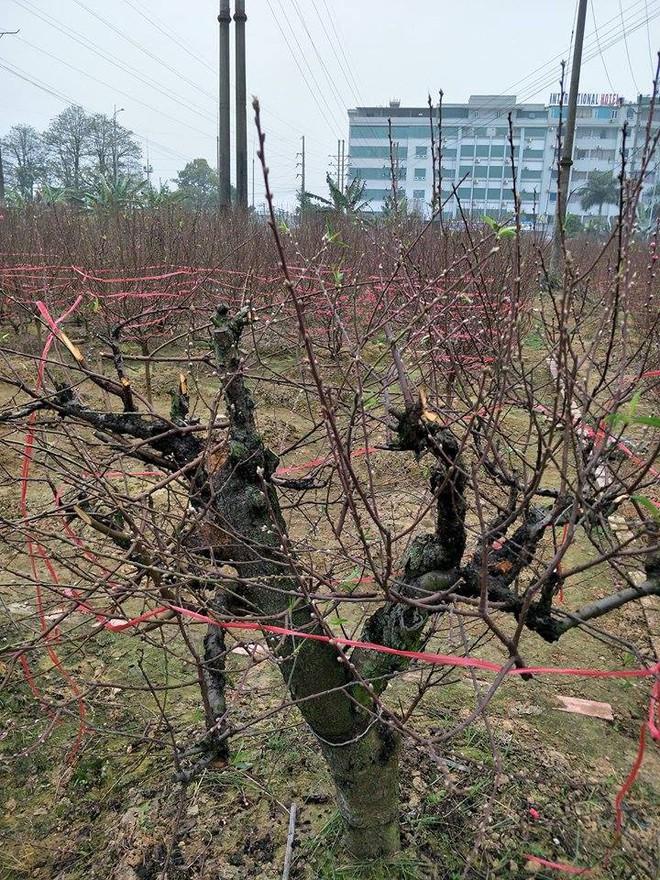 Hơn 70 cây đào thế lâu năm chuẩn bị phục vụ Tết bị kẻ xấu phá hoại - Ảnh 6.
