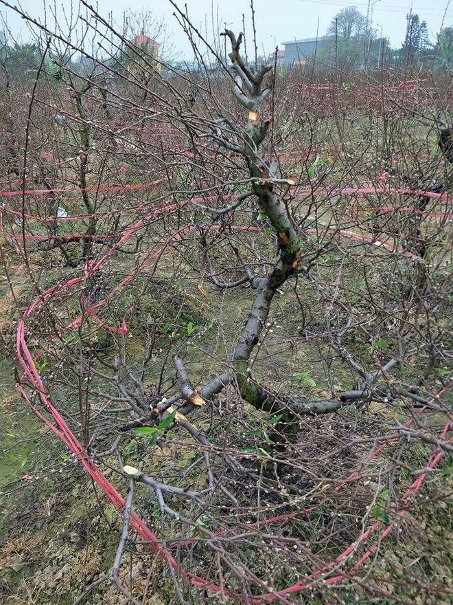 Hơn 70 cây đào thế lâu năm chuẩn bị phục vụ Tết bị kẻ xấu phá hoại - Ảnh 8.