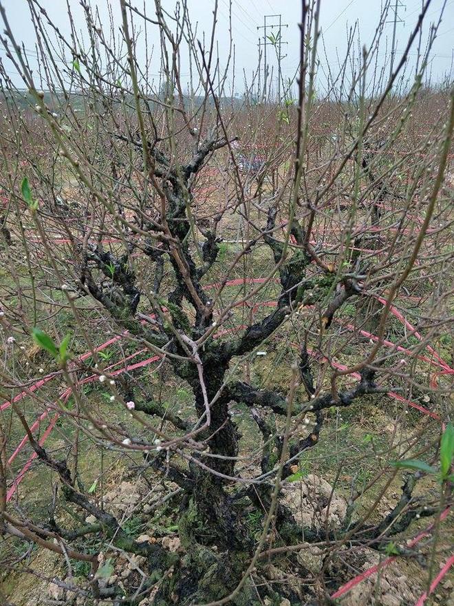 Hơn 70 cây đào thế lâu năm chuẩn bị phục vụ Tết bị kẻ xấu phá hoại - Ảnh 11.