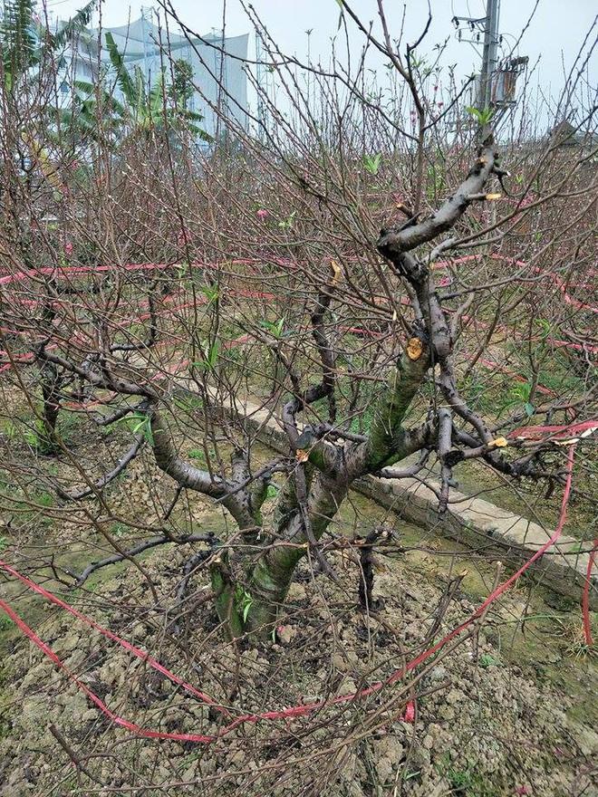 Hơn 70 cây đào thế lâu năm chuẩn bị phục vụ Tết bị kẻ xấu phá hoại - Ảnh 12.
