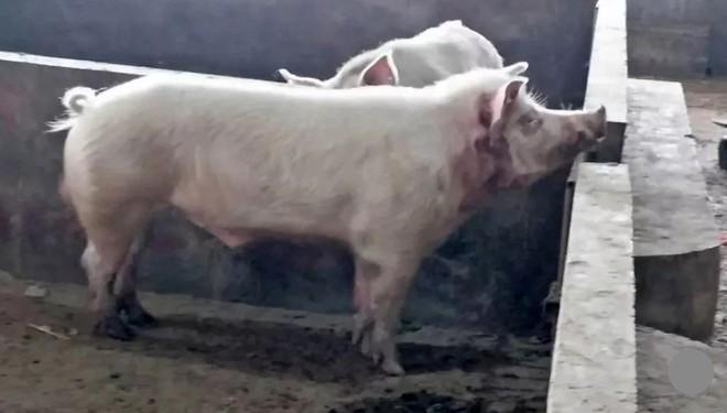 Lợn 'sát thủ' xổng chuồng, tấn công người tử vong - Ảnh 1.
