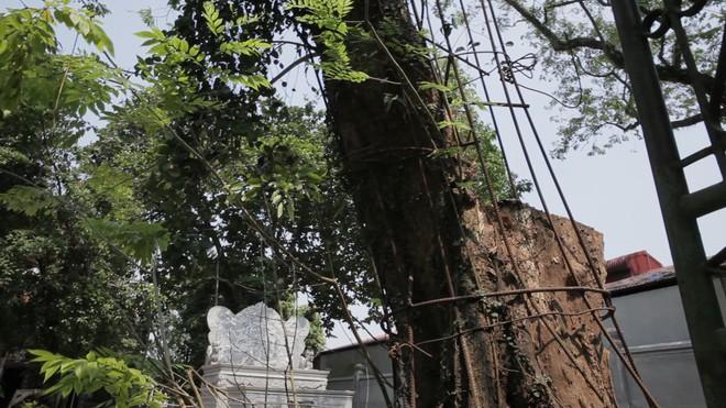 Cây sưa đỏ trăm tỷ ở Hà Nội: Vỏ ngoài sẽ bị cấu nát thành mùn, bán càng sớm càng tốt - Ảnh 3.