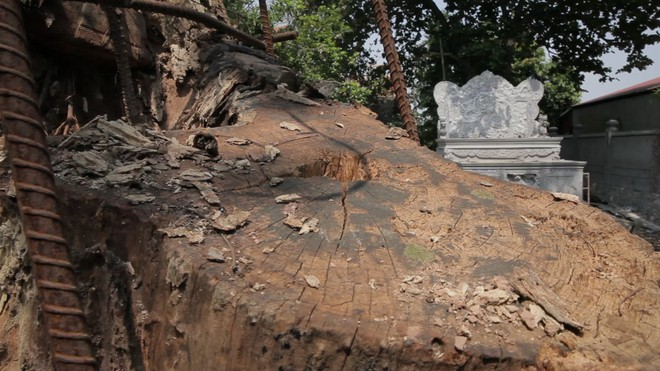 Cây sưa đỏ trăm tỷ ở Hà Nội: Vỏ ngoài sẽ bị cấu nát thành mùn, bán càng sớm càng tốt - Ảnh 5.