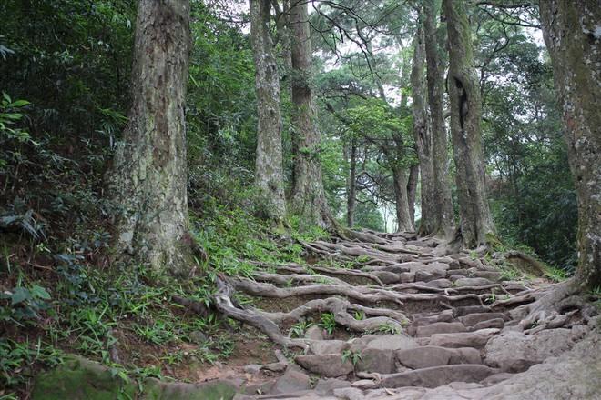 Thêm một cây Xích Tùng cổ chết, dự án cứu rừng Xích Tùng Yên Tử vẫn chưa được phê duyệt - Ảnh 1.