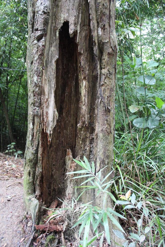 Thêm một cây Xích Tùng cổ chết, dự án cứu rừng Xích Tùng Yên Tử vẫn chưa được phê duyệt - Ảnh 3.