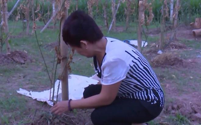 Nữ chủ vườn sững sờ, đứng không vững khi vườn dược liệu hàng trăm triệu bị chém lìa gốc