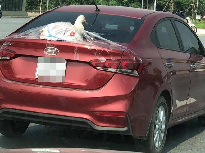 Chú vịt trắng ngóc đầu, nằm phía sau ô tô - hình ảnh hài hước gây chú ý trong ngày chủ nhật - Ảnh 1.