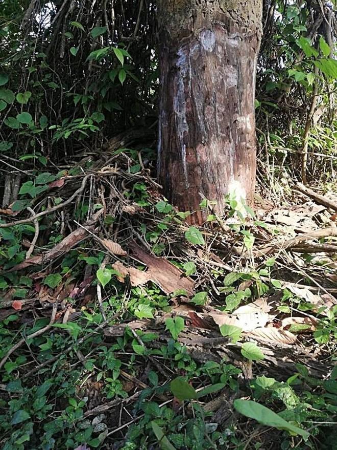 Thuê người bức tử 49 cây rừng để lấy đất - Ảnh 1.