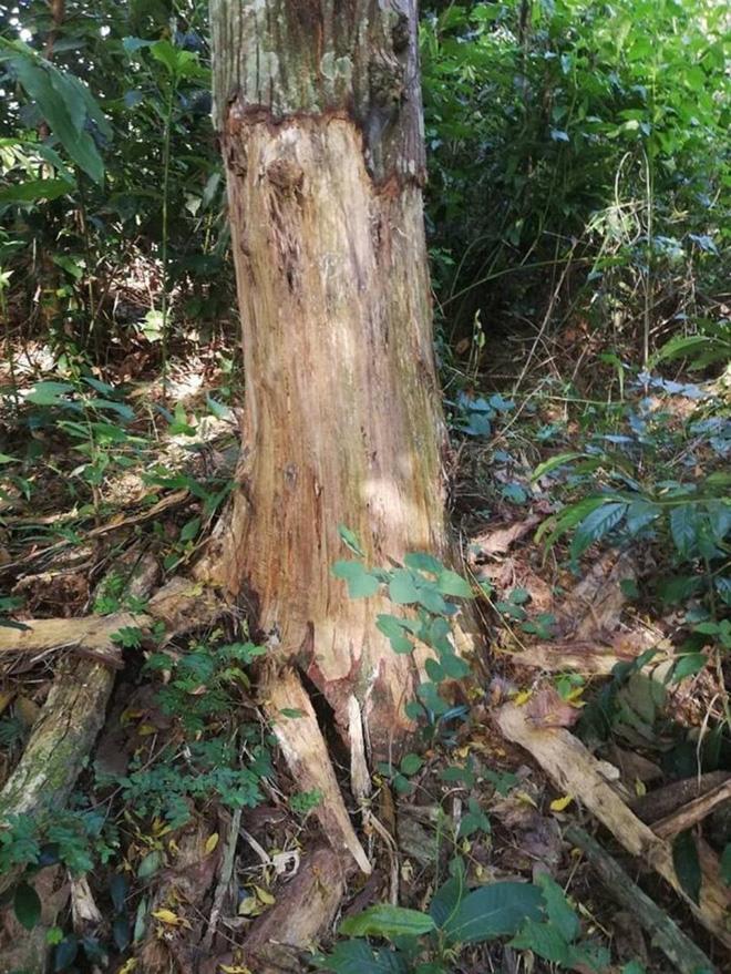 Thuê người bức tử 49 cây rừng để lấy đất - Ảnh 2.
