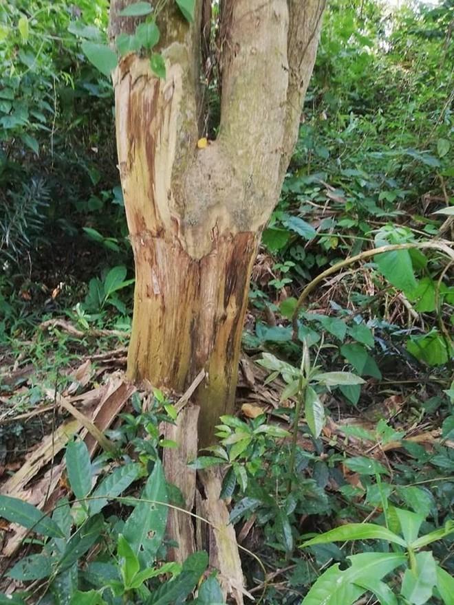 Thuê người bức tử 49 cây rừng để lấy đất - Ảnh 3.