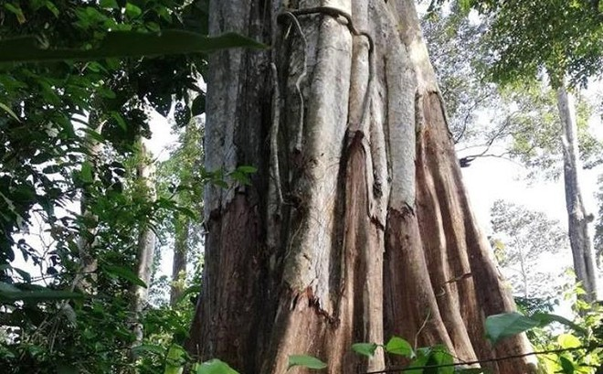 Thuê người bức tử 49 cây rừng để lấy đất