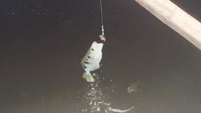 Bí mật về loài cá có khả năng phun nước, bay lên không săn mồi độc nhất miền Tây - Ảnh 3.
