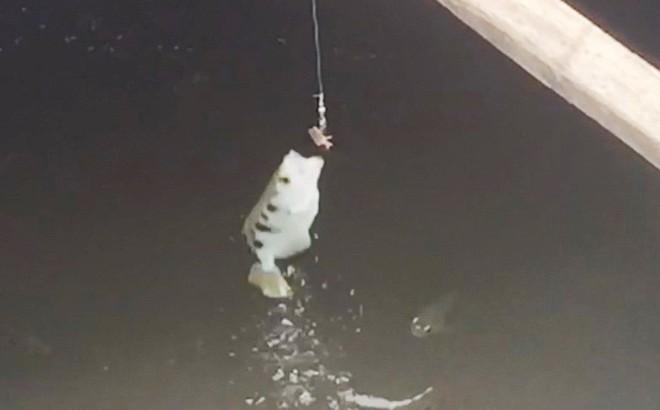 Bí mật về loài cá có khả năng phun nước, bay lên không săn mồi độc nhất miền Tây