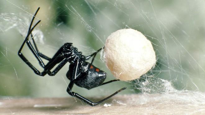 Kỳ lạ loài nhện góa phụ đen có sợi tơ cứng như thép - Ảnh 1.