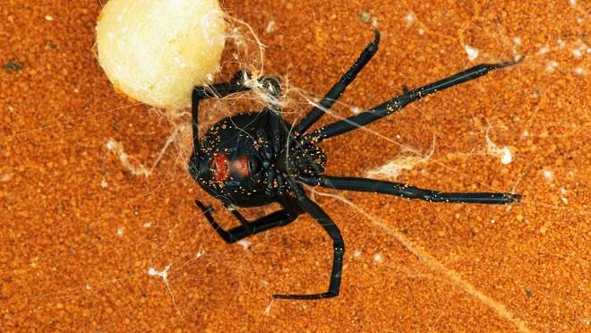 Kỳ lạ loài nhện góa phụ đen có sợi tơ cứng như thép - Ảnh 2.
