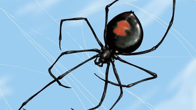 Kỳ lạ loài nhện góa phụ đen có sợi tơ cứng như thép - Ảnh 3.
