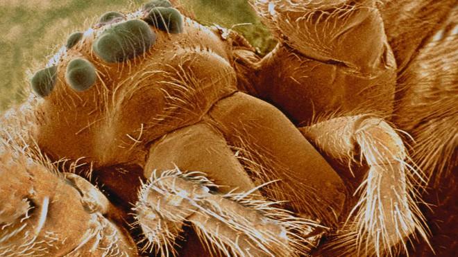 Kỳ lạ loài nhện góa phụ đen có sợi tơ cứng như thép - Ảnh 5.
