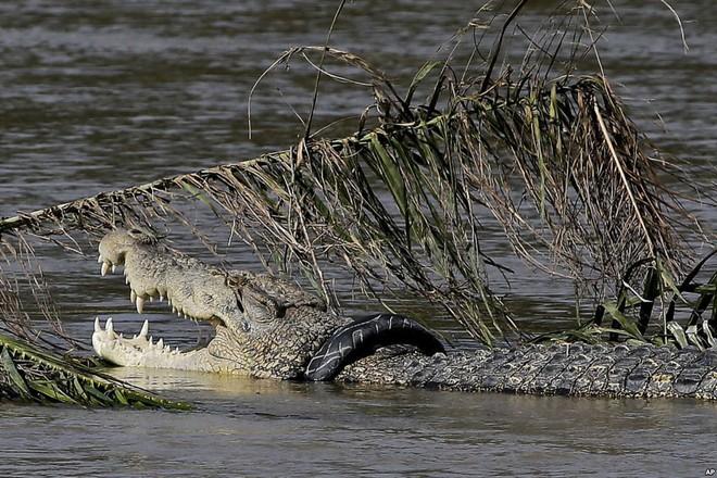 24h qua ảnh: Cá sấu khổng lồ mắc kẹt trong lốp xe ở Indonesia - Ảnh 3.