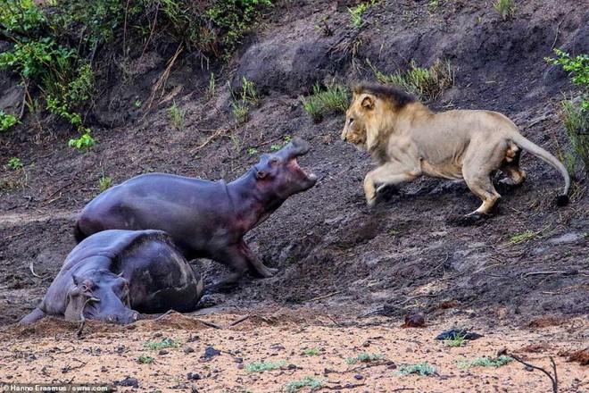 Thấy mẹ gục xuống bùn, hà mã con quyết chiến đánh đuổi sư tử - Ảnh 1.