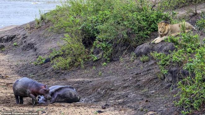 Thấy mẹ gục xuống bùn, hà mã con quyết chiến đánh đuổi sư tử - Ảnh 2.