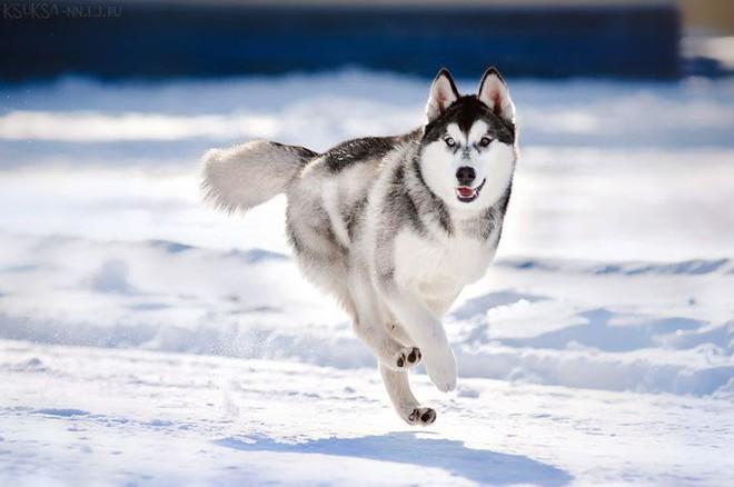 Kiểm tra 6.070 con chó Husky, giới khoa học đã hiểu vì sao mắt chúng có màu xanh  - Ảnh 7.