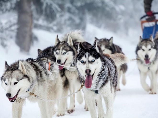 Kiểm tra 6.070 con chó Husky, giới khoa học đã hiểu vì sao mắt chúng có màu xanh  - Ảnh 3.