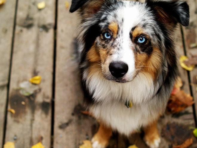 Kiểm tra 6.070 con chó Husky, giới khoa học đã hiểu vì sao mắt chúng có màu xanh  - Ảnh 2.