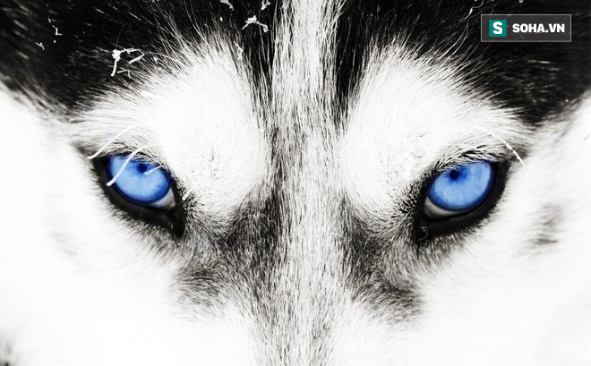 Kiểm tra 6.070 con chó Husky, giới khoa học đã hiểu vì sao mắt chúng có màu xanh