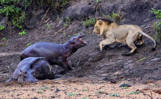 Thấy mẹ gục xuống bùn, hà mã con quyết chiến đánh đuổi sư tử