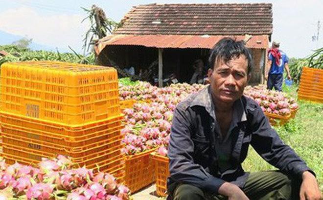 Giá thanh long Bình Thuận chỉ còn 500 đồng/kg vẫn không người mua