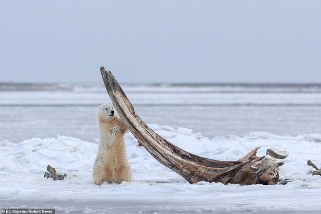 Bữa tiệc hiếm ở Alaska: Cận cảnh gấu Bắc Cực gặm xương của con cá voi nặng 75 tấn - Ảnh 1.