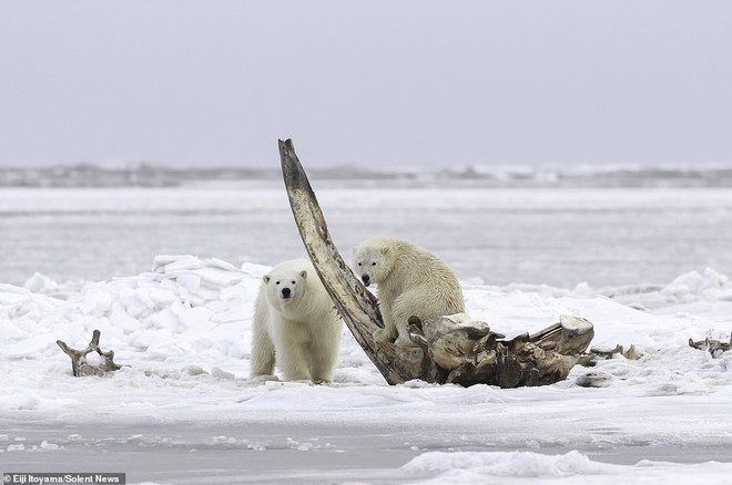 Bữa tiệc hiếm ở Alaska: Cận cảnh gấu Bắc Cực gặm xương của con cá voi nặng 75 tấn - Ảnh 3.