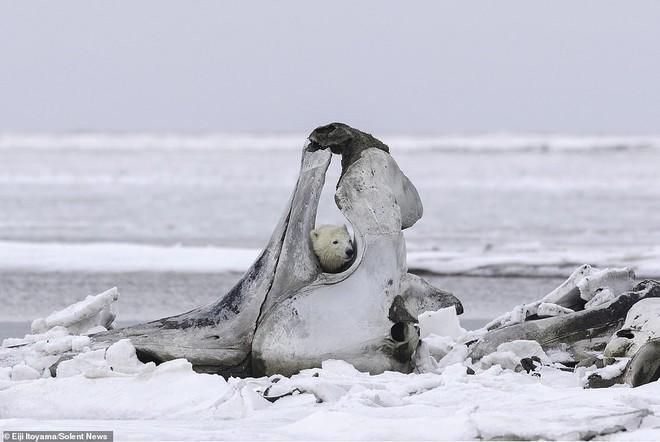 Bữa tiệc hiếm ở Alaska: Cận cảnh gấu Bắc Cực gặm xương của con cá voi nặng 75 tấn - Ảnh 4.
